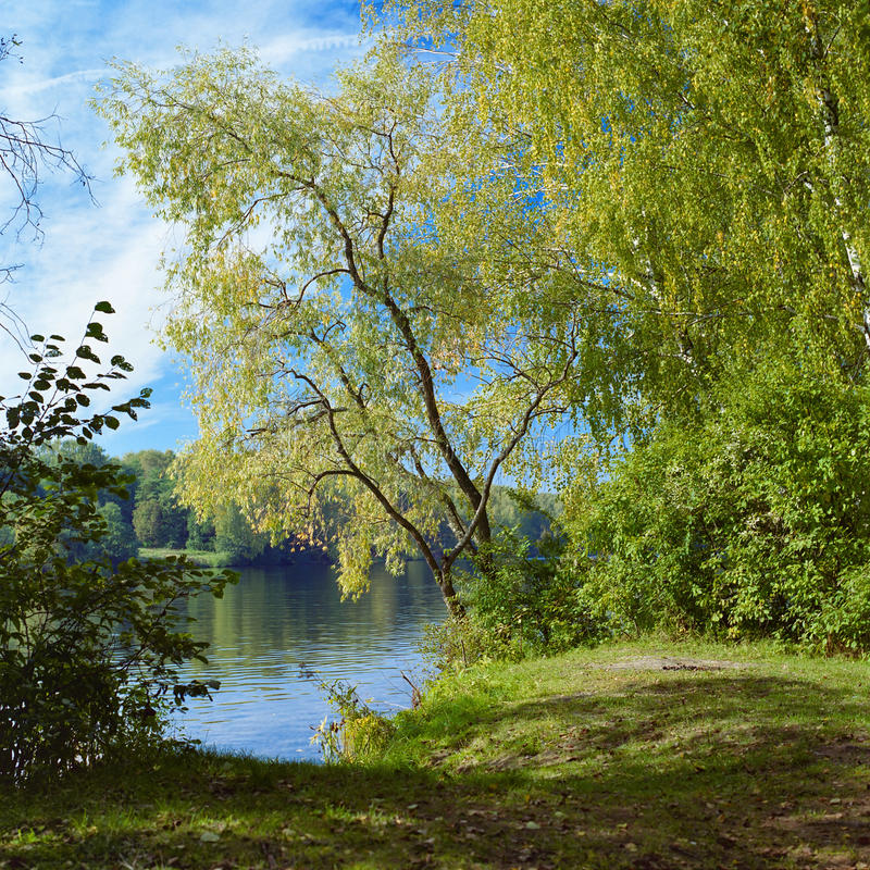 Willow on the river in early autumn. Willow on the river, September, Russia royalty free stock image