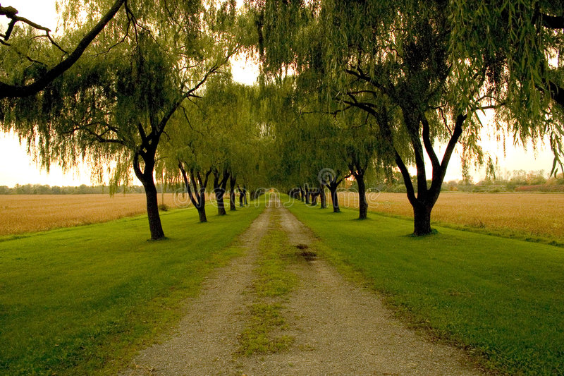 Willow roadway. Gravel farm road leading through willow trees royalty free stock images