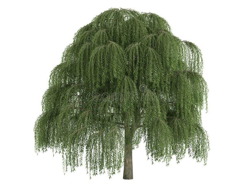 Willow_ (Salix) ilustração royalty free