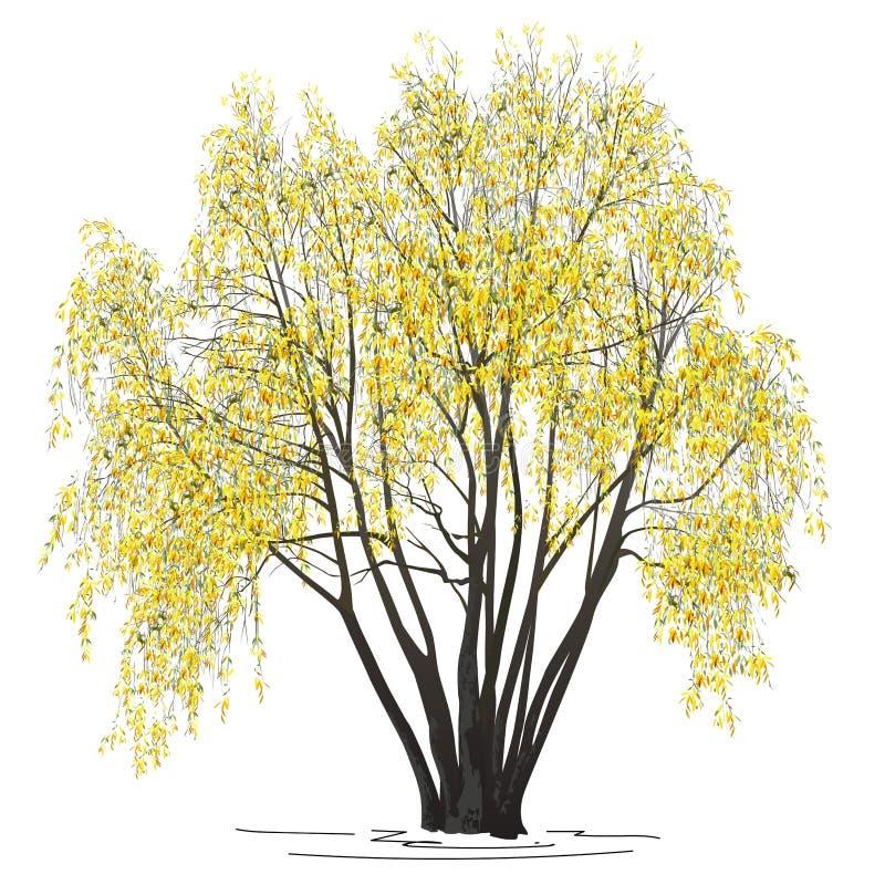 Willow Salix alba L met gele bladeren in de herfst stock foto