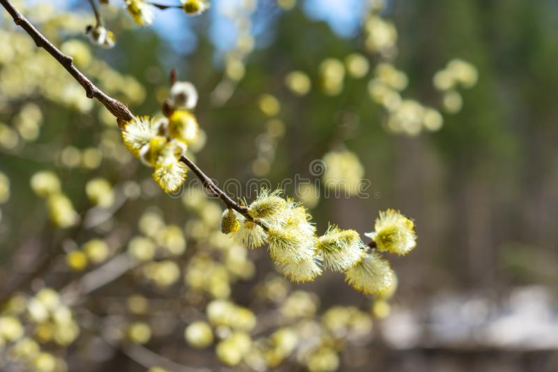 Willow Salix caprea branches with buds blossoming in early spring nature stock image