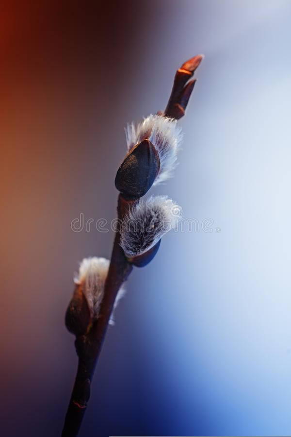 Willow Salix-caprea verzweigt sich mit den Knospen, die im Vorfrühling blühen stockbilder