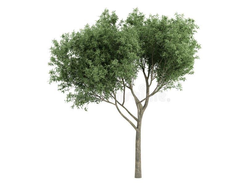 Willow_ (Salix_fragilis) ilustração royalty free