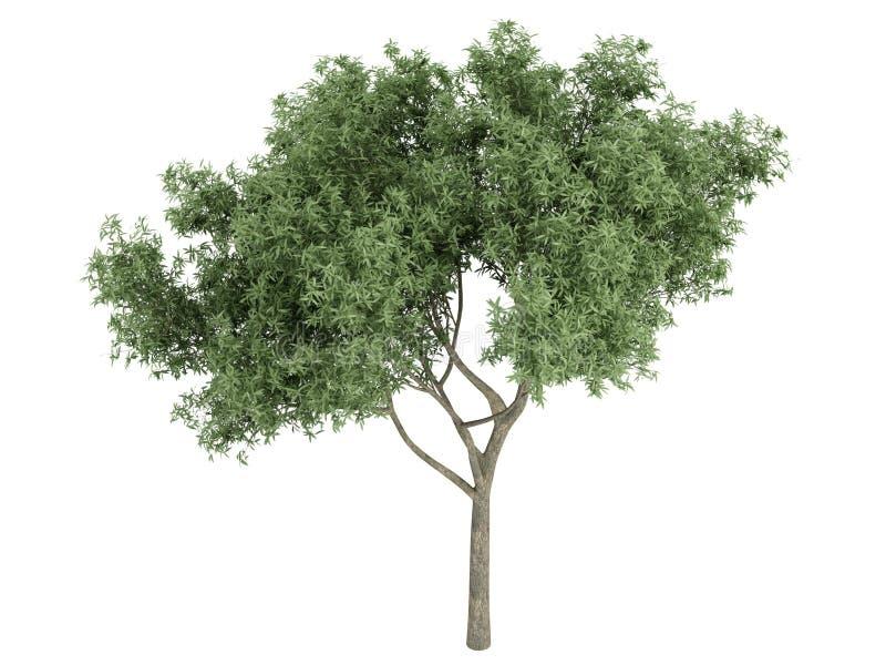 Willow_ (Salix_fragilis) stock abbildung