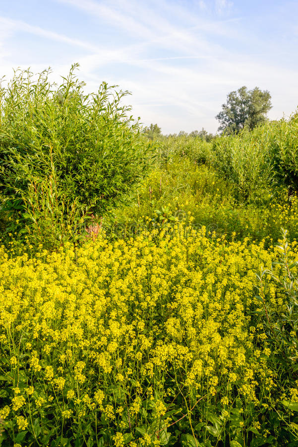 Download Willow Shrubs And Yellow Flowering Rapeseed In A Nature Reserve Stock Photo - Image: 83700199