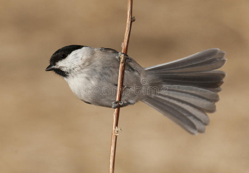 Willow Tit. On stick with tan background royalty free stock photography
