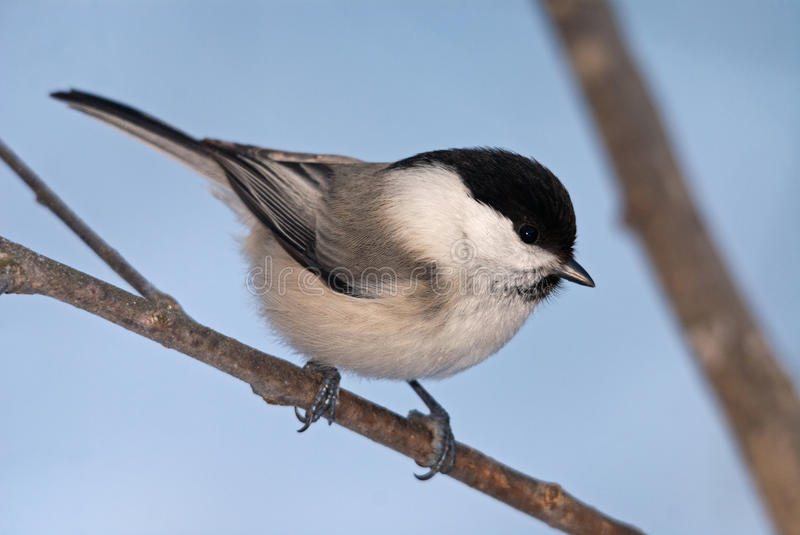 Download Willow tit stock image. Image of horizontal, outdoors - 29105757