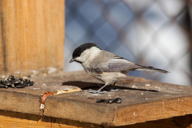 Download Willow Tit, Black-capped Chickadee, Parus Montanus Stock Image - Image of walnut, food: 13733695