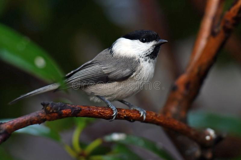 Willow tit on a branch. Willow tit, Parus montanus borealis on a branch in Sweden stock photos