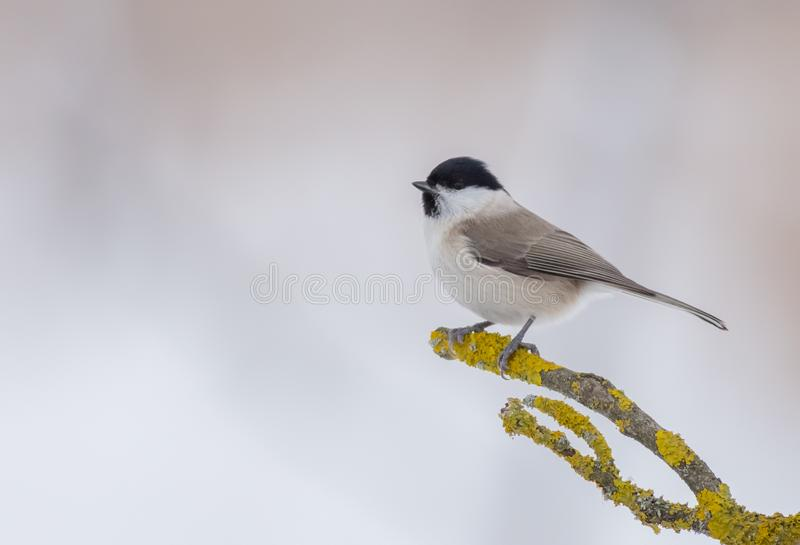 Willow tit - Parus montanus - Poecile montanus royalty free stock photography