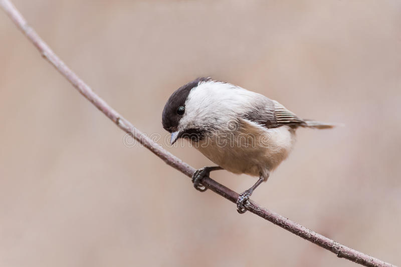 Willow tit perched on sprig royalty free stock photo