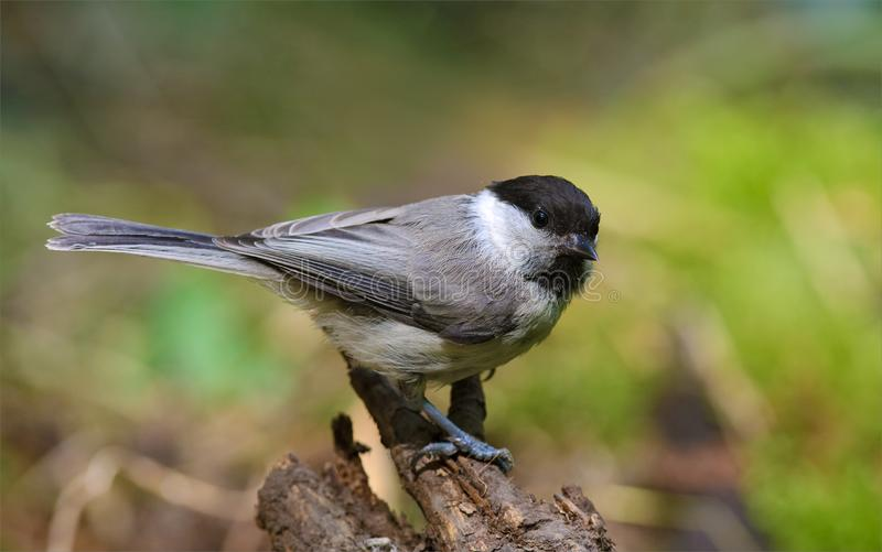 Willow tit perched. Willow tit posing with turned head on small stump in the forest royalty free stock images