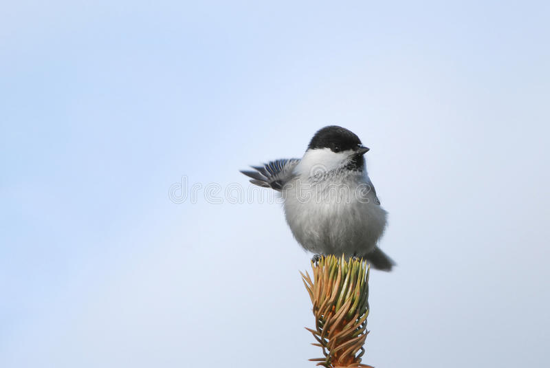 Willow Tit pointing right. Willow Tit on treetop and pointing right stock photos