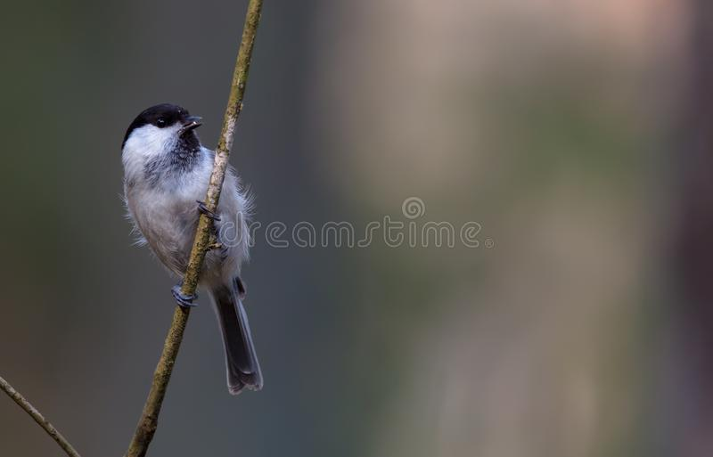 Willow tit perched near the nest at spring. Willow tit posing near the nest at spring stock images