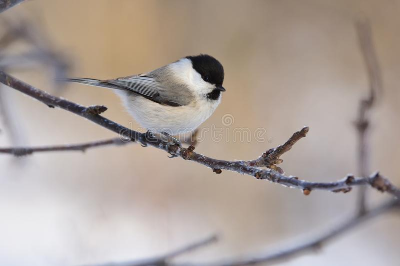 Willow tit sits on a branch of an apple tree glare in the eye. Willow tit Poecile montanus sits on a branch of an apple tree glare in the eye stock photo