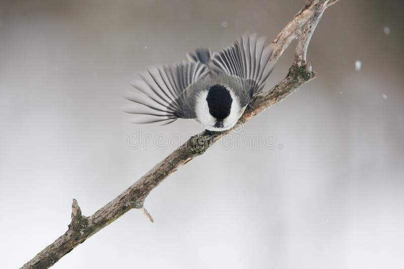 Willow tit spread its wings, ready to fly for food. Willow tit Poecile montanus spread its wings, ready to fly for food royalty free stock image