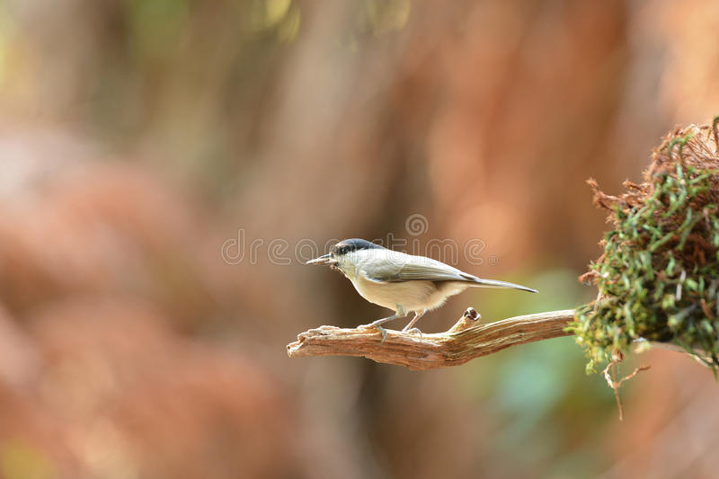 Willow Tit In Tree Royalty Free Stock Image