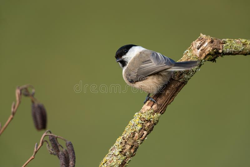 Willow tit. Sitting on a branch royalty free stock photo