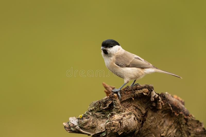 Willow tit. Sitting on a branch royalty free stock image
