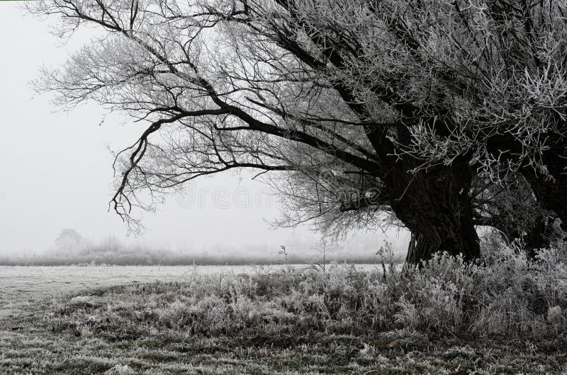 Willow-trädet på en kall morgon fotografering för bildbyråer