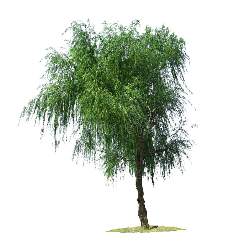Free Willow Tree Royalty Free Stock Photography - 11520397