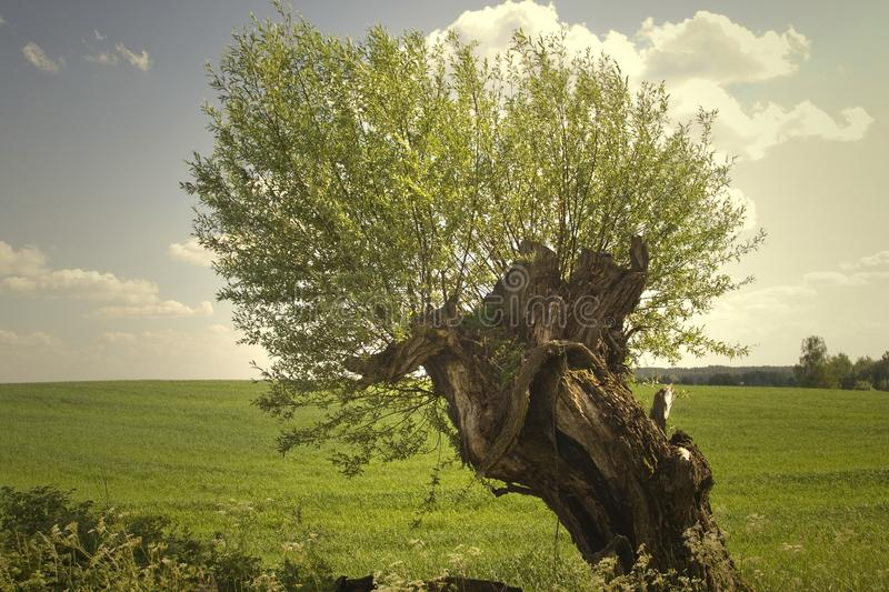 Willow tree. On green field royalty free stock photo