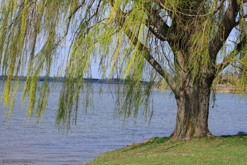 Willow tree. Beautiful willow tree growing near lake stock photography