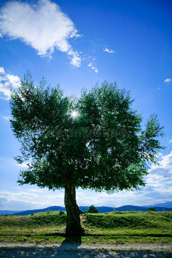 Willow tree. A short willow tree is back lit by the sun on a green field stock image
