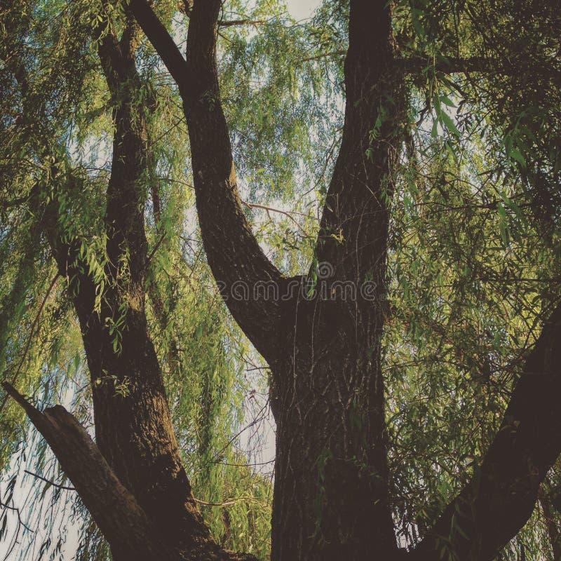 Willow Tree lizenzfreie stockfotografie