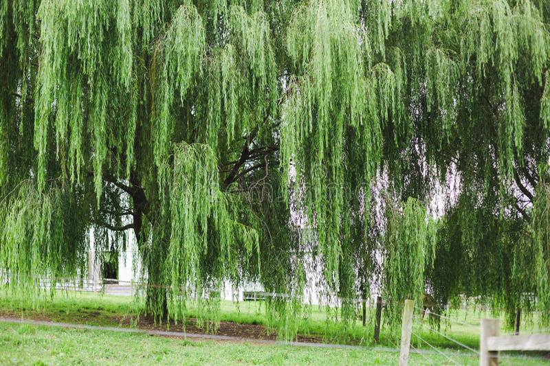 Willow tree in Amish Country. Pennsylvania stock photos