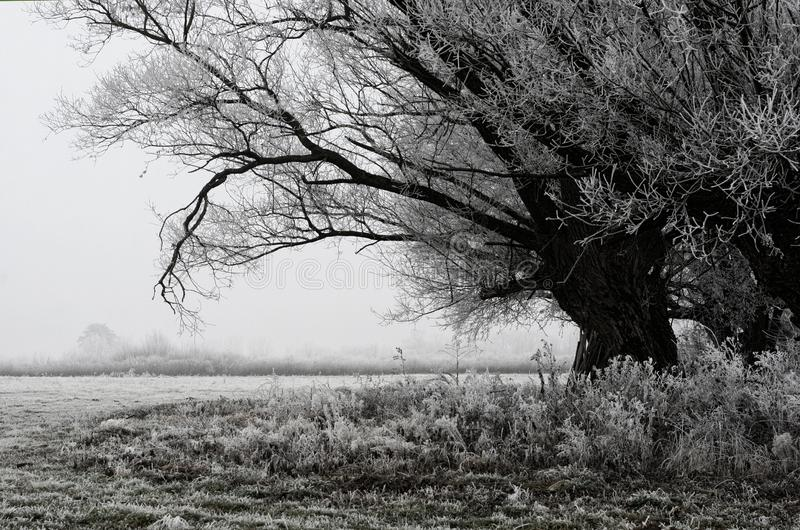 Willow tree in a cold morning stock image