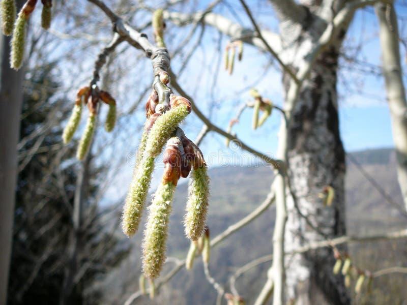 Willow Tree de bourgeonnement photographie stock libre de droits