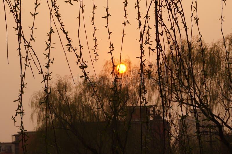 Willow Tree e Sun messi fotografie stock libere da diritti