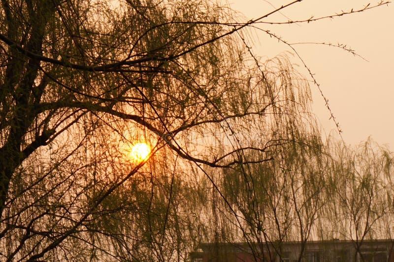 Willow Tree e Sun messi fotografie stock