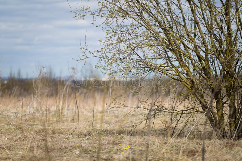 Willow tree in early spring. Spring horizontal background. Copy space. royalty free stock photography