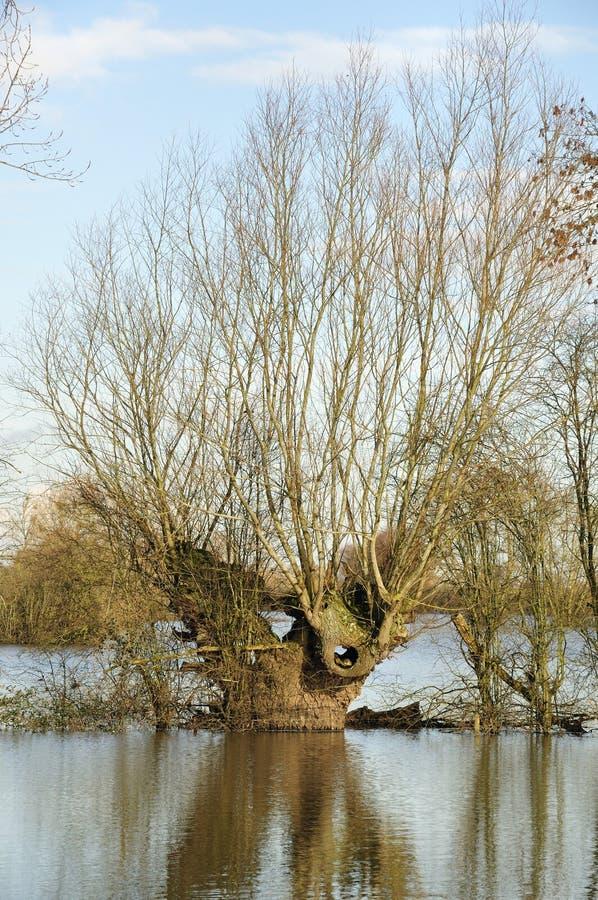 Willow Tree en inundaciones imagenes de archivo