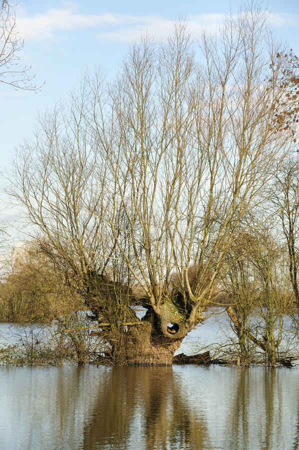 Willow Tree in floods. Old Pollarded Willow Tree in floods, Severn Vale, Gloucestershire This tree must have seen hundreds of these floods stock images