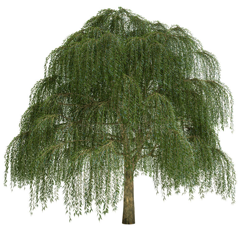 Willow Tree Isolated photos stock