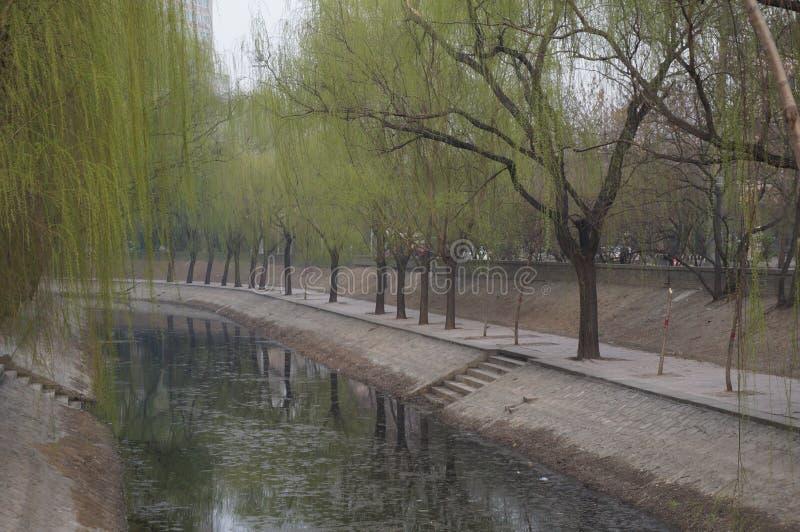 Willow Tree in molla in anticipo nel distretto di Chaoyang, Pechino, Cina immagini stock