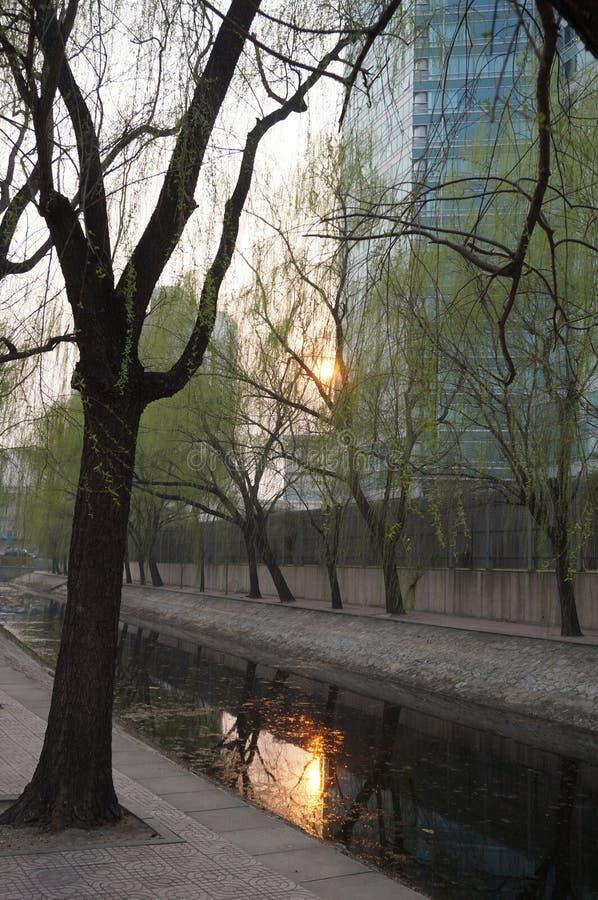 Willow Tree in molla in anticipo a Pechino fotografia stock libera da diritti
