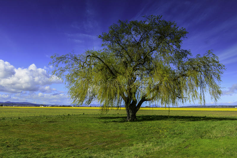 Willow Tree with new Spring Growth near daffodil fields royalty free stock photography