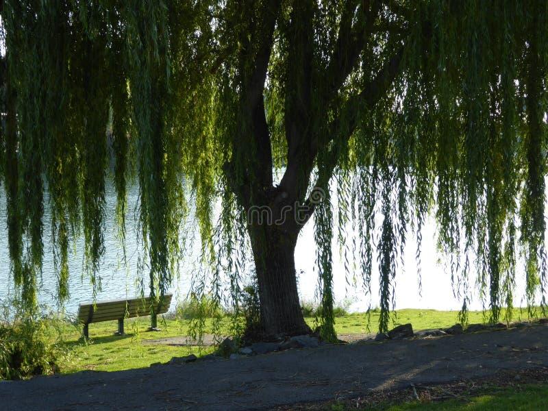 Willow Tree och bänk royaltyfri foto