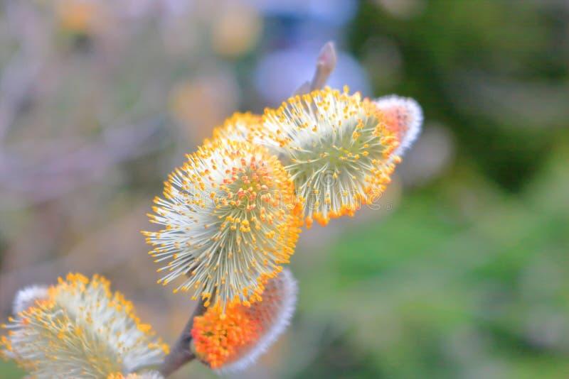 Willow Tree och vårknoppar fotografering för bildbyråer