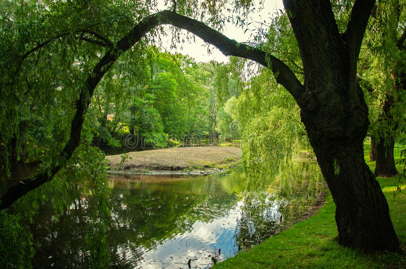 Willow. Tree over the water in the park stock photos
