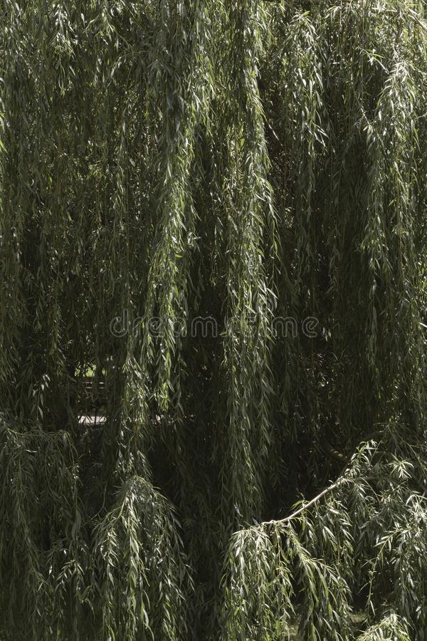 Willow tree in the park stock photos