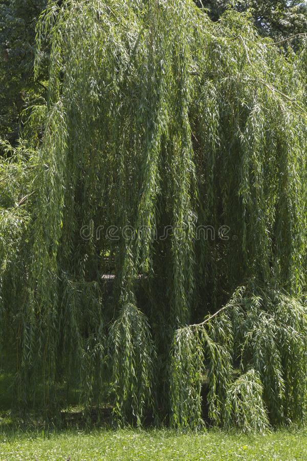 Willow tree in the park stock photo