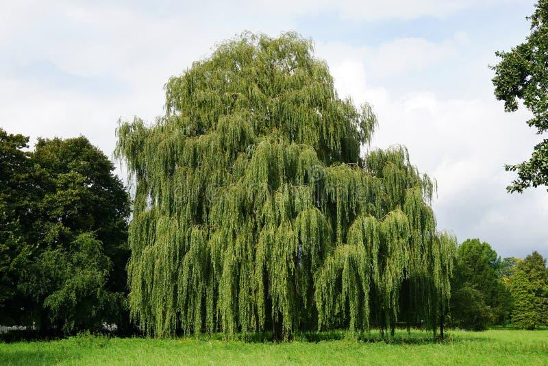 Willow Tree piangente immagine stock
