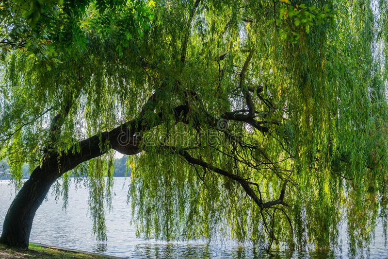 Willow Tree pleurante photo libre de droits