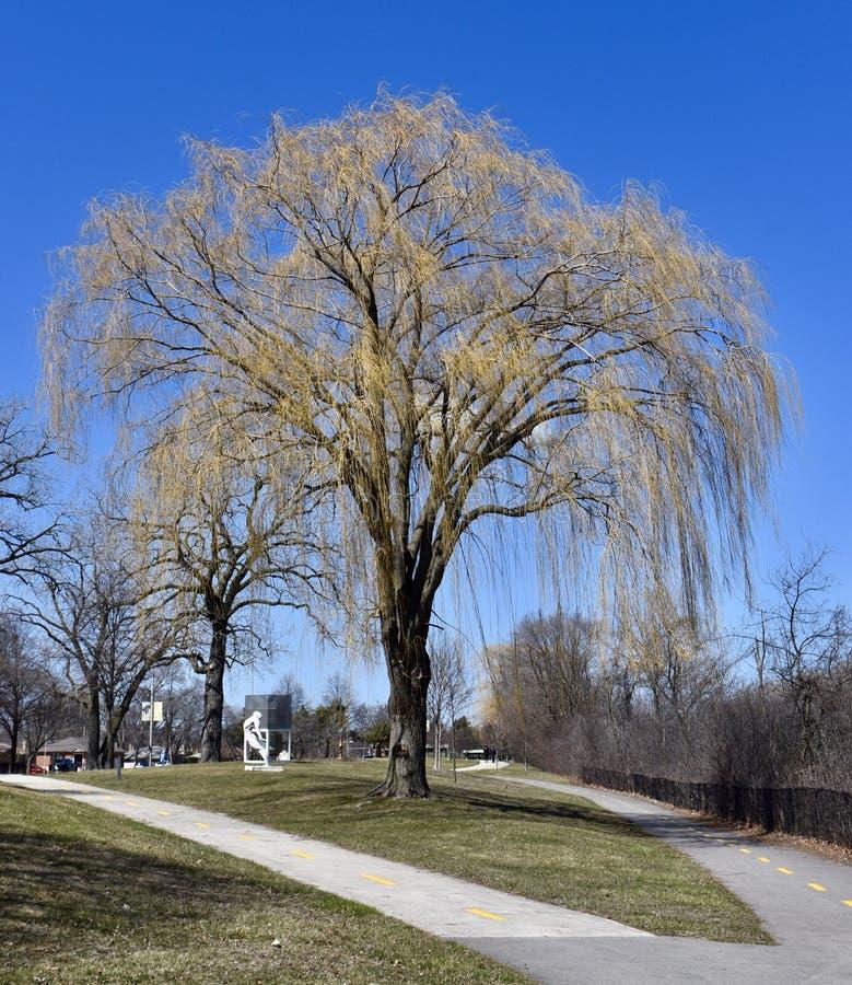 Willow Tree pleurante de bourgeonnement images stock