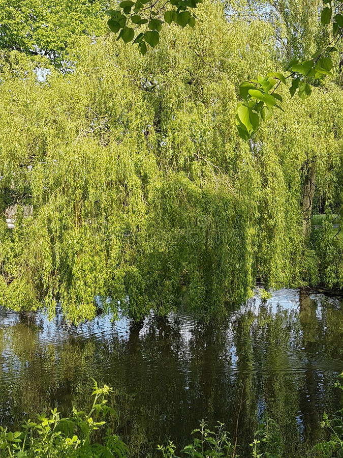 Willow tree stock image